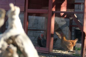 IMG_8835_Chickens