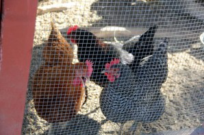 IMG_8838_Chickens